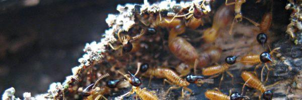 termites_slide