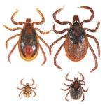 Tick Species – Tick Encounter